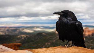Rook card game crow